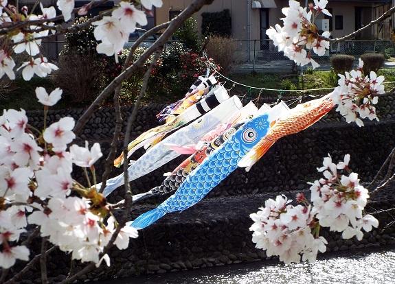 犬山祭りに花見