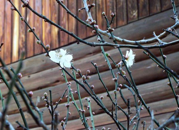12月の梅