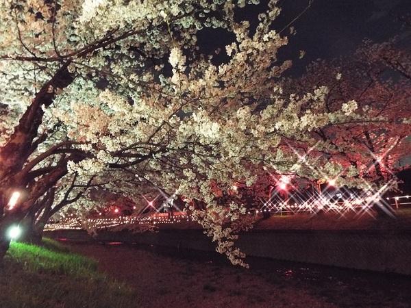 大口町五条川の夜桜