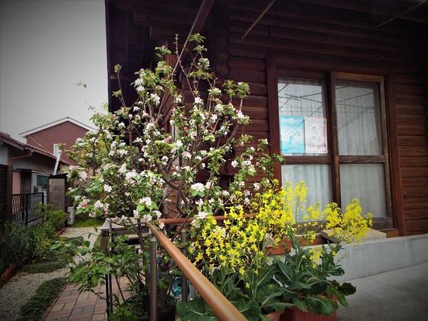 姫りんごの花が満開です!!